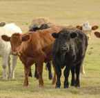 US-fund-launched-for-livestock-projects-resized